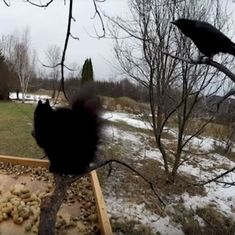 Watch: For probably the first time in the world, a crow may have said 'hello' to a squirrel