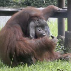Indonesian zoo under fire after video shows orangutan smoking a cigarette