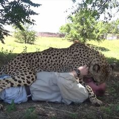 Watch: Cheetah hugs and plays with his human friend when he meets him after two years