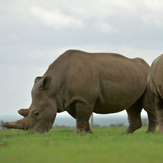 Even if you were the last rhino on Earth: Why populations can't be saved by a single breeding pair