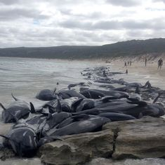 Australia: 150 whales wash ashore on Hamelin Bay, 135 die