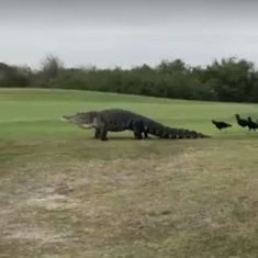 Caught on camera: This 15-foot-long alligator casually strolled across a golf course in Florida