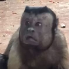 Watch: This monkey's bewildered 'human face' accurately sums up life on the internet in 2018