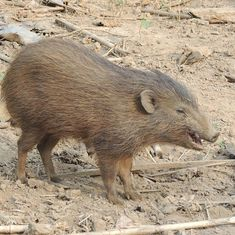 To conserve the few remaining pygmy hogs in Assam, researchers are playing match-maker