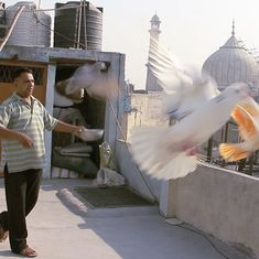 Video: You've heard of racehorses, but have you heard of racer pigeons?