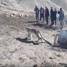 Watch: Villagers in Himachal's Spiti Valley actually set a snow leopard free after capturing it
