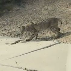 Caught on camera: A lethal battle between a bobcat and a rattlesnake (with an obvious winner)
