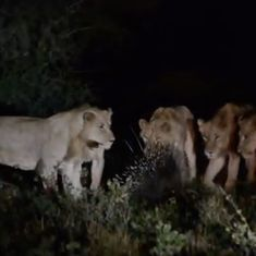 Caught on camera: Seven lions versus one porcupine. It was the lions who had to admit defeat