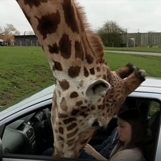 Watch: A giraffe stuck its head inside a car, and ended up destroying some things