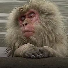 Watch: Japan's snow monkeys have learned to relax in hot tubs, just the way we do