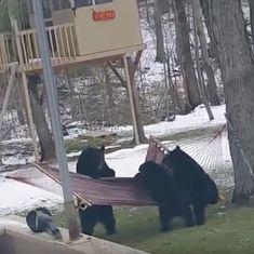Caught on camera: A group of bears fails adorably to climb into a hammock