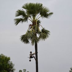 To save Tamil Nadu's palm trees, climbers are trying to raise awareness about their many benefits