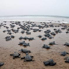 Odisha's Rushikulya has seen two Olive Ridley mass nestings this year