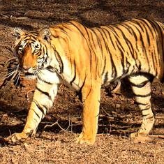 Maharashtra: Supreme Court refuses to stay shooting order for man-eating tigress