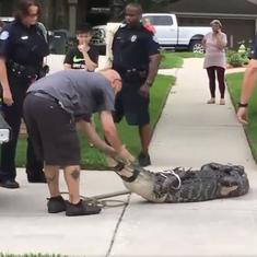 Watch: An alligator roaming through city streets head-butted its trapper and knocked him out