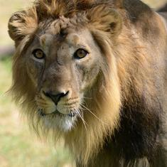 Gujarat: Seven more lions die in Gir forest, toll rises to 21