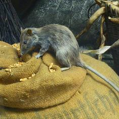 How has the black rat managed to thrive across the world? The answer may lie in its gut