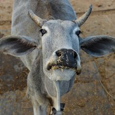 Centre plans 'Project Cow', which will have sanctuaries to protect the animals