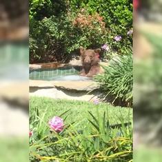 Watch: California bear beats summer heat by lounging in a tub, drinking a margarita