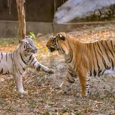 Two tiger cubs at Delhi zoo die days after birth