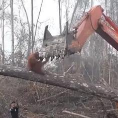 Watch the heartbreaking moment an orangutan tried to fight off a bulldozer tearing down trees
