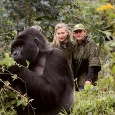 Watch: Talk show host Ellen DeGeneres comes face-to-face with gorillas (and feeds a giraffe)