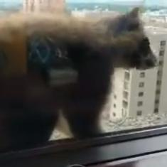 Watch: A raccoon which climbed a 25-storey tower had the internet holding its breath