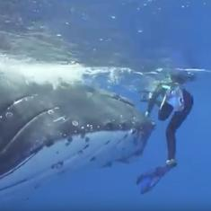 Watch: A humpback whale nudged this diver out of harm's way to save her from a nearby shark