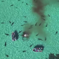 Watch if you can: drone footage of tiger sharks on a feeding frenzy