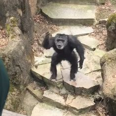 Watch: A chimpanzee hurls poop at zoo visitors, and experts say it's a sign of intelligence