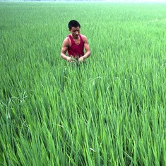 Climate change is making rice less nutritious, putting millions of the world's poor at risk