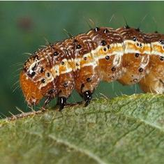 As maize-eating fall armyworm moth reaches India, officials rush to contain damage