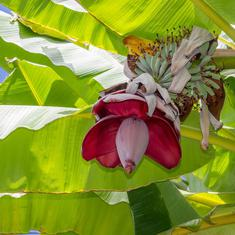 From night jasmine to banana blossoms: India's centuries-old love affair with edible flowers