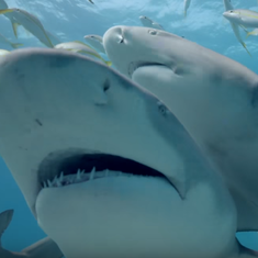 Watch: How to spot a napping shark (and a sonogram of a pregnant tiger shark's babies in the womb)
