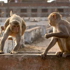 उत्तर प्रदेश : बंदरों ने सुतली बमों से भरी थैली लोगों पर फेंकी, धमाके में तीन घायल
