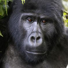 The women who track endangered Ugandan mountain gorillas, and help tourists meet them