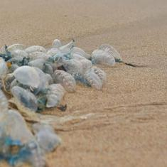 Mumbaiites warned against walking barefoot along beaches after venomous blue bottles washed ashore
