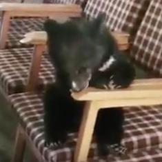 Watch: How did a bear cub (adorable though it is) get into a government office in Shimla district?