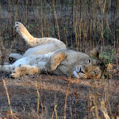 18 lions on trial for murder of three in Gujarat, 'guilty animal' will be sentenced to life in a zoo