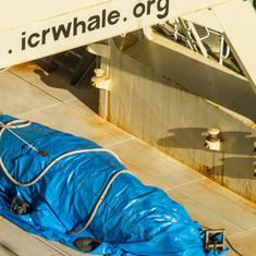 Japan kills 177 whales to 'study' if commercially hunting them is sustainable