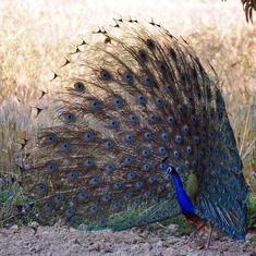 Tamil Nadu: Carcasses of 47 peacocks found near a lake in Madurai