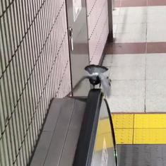 Watch: Clearly, nobody taught this pigeon the difference between an escalator and a treadmill