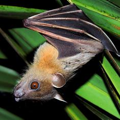 Lab notes: Indian bats may be the new carriers of rabies