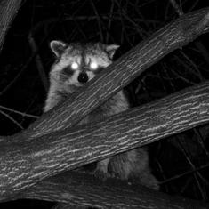 To avoid humans, more wildlife is becoming nocturnal