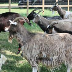 Watch: A small Irish town is being terrorised by a bunch of procreating wild goats