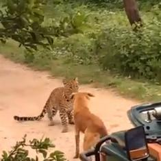 Watch: Stray dog scares off leopard in Rajasthan's Jhalana reserve just by barking