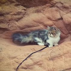 Watch: These are not your docile, adorable cats. They go hiking in the mountains