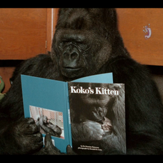 Documentary on Koko the gorilla doesn't come out with it: can she communicate with humans?