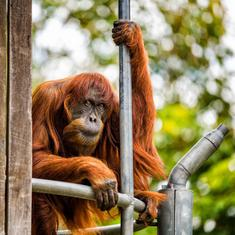 World's oldest known Sumatran orangutan dies in Australian zoo at 62