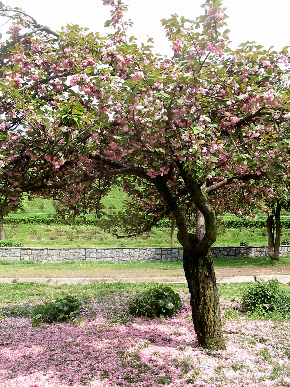 Cherry Blossom trees at Shalimar. Image credit: Anuradha Chaturvedi
